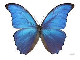 Morpho didius gets its blue colour as a consequence of the nano structure of its wings